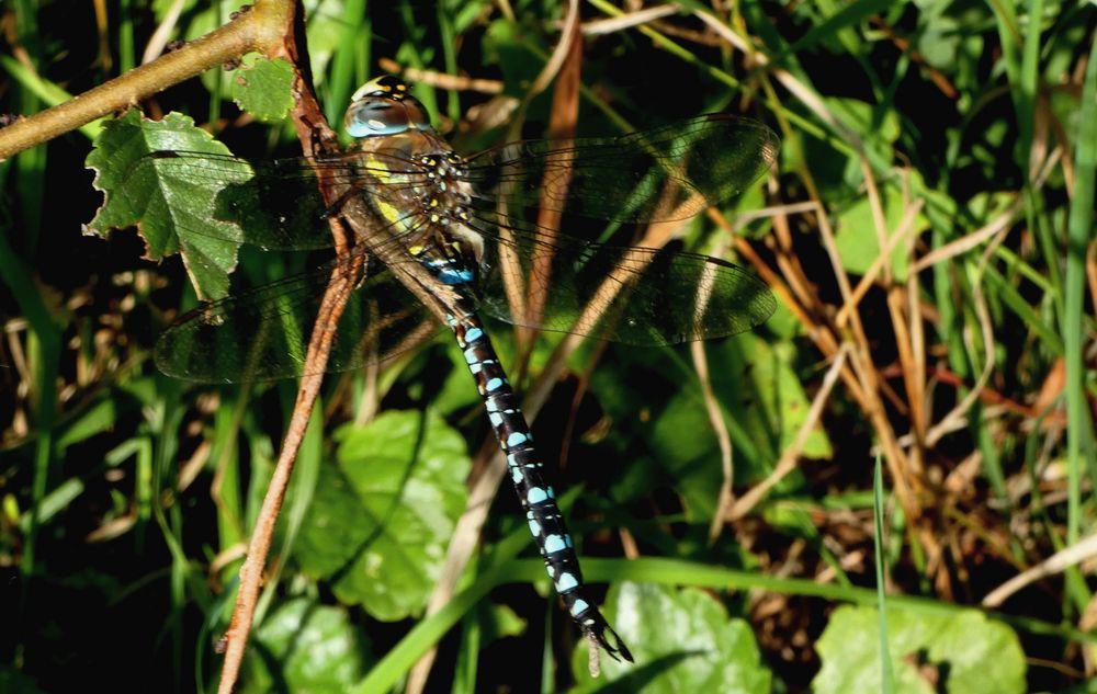 (2) Blaugrüne Mosaikjungfer (Aeshna cyanea) Männchen