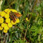 (2) Braunkolbiger- oder Ockergelber Braun-Dickkopffalter (Thymelicus sylvestris)