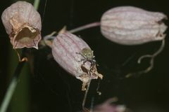 (2) Der Pechnelkenrüßler (Sibinia viscariae) - ...