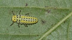 (2) Der Sechzehnfleck-Marienkäfer (Halyzia sedecimguttata)
