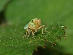 (2) Die Binsenschmuckzikade (Cicadella viridis)