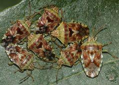 (2) Die Fleckige Brutwanze (Elasmucha grisea)