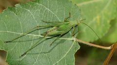 (2) Die Gemeine Sichelschrecke (Phaneroptera falcata)