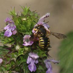 (2) Die Große oder Garten-Wollbiene (Anthidium manicatum)