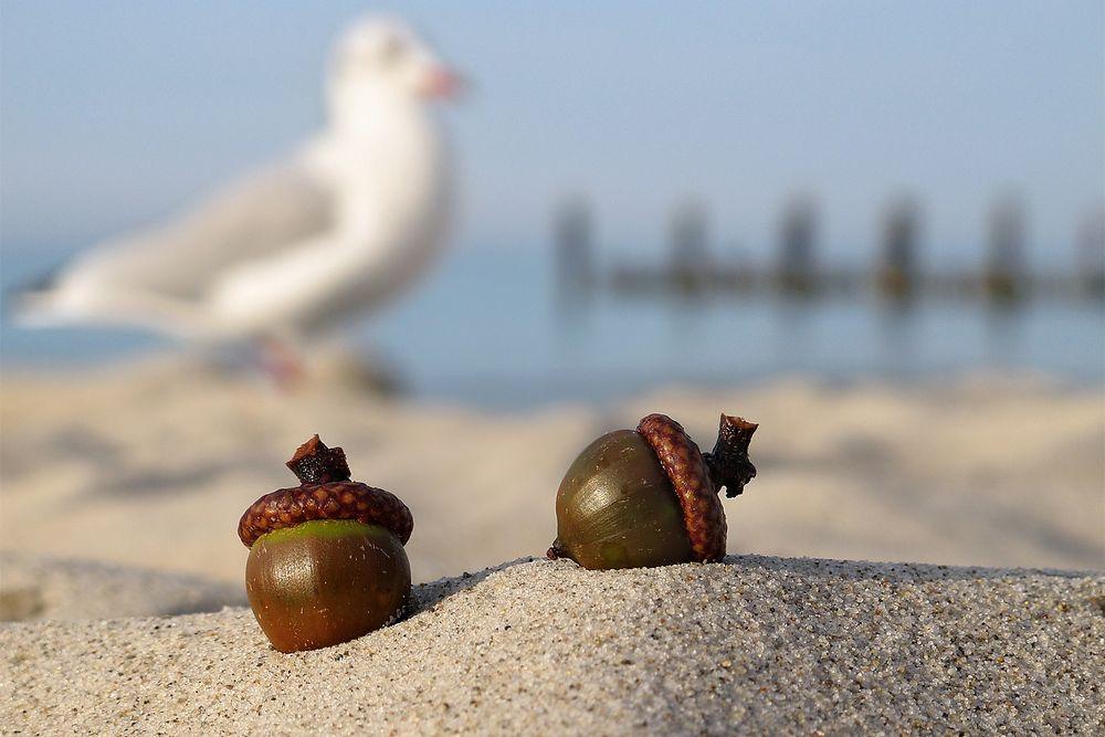 2 Eicheln am Strand...