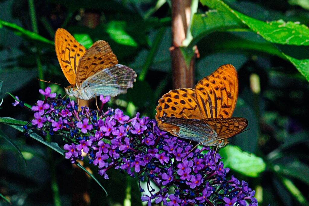 2 farfalle2