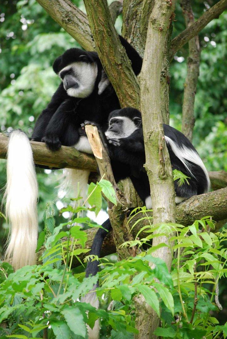 2 faule Affen im Allwetter-Zoo
