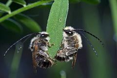 2. Foto: Zwei Langhornbienen* im Tiefschlaf. - Deux abeilles sauvages pendant leur profond sommeil!