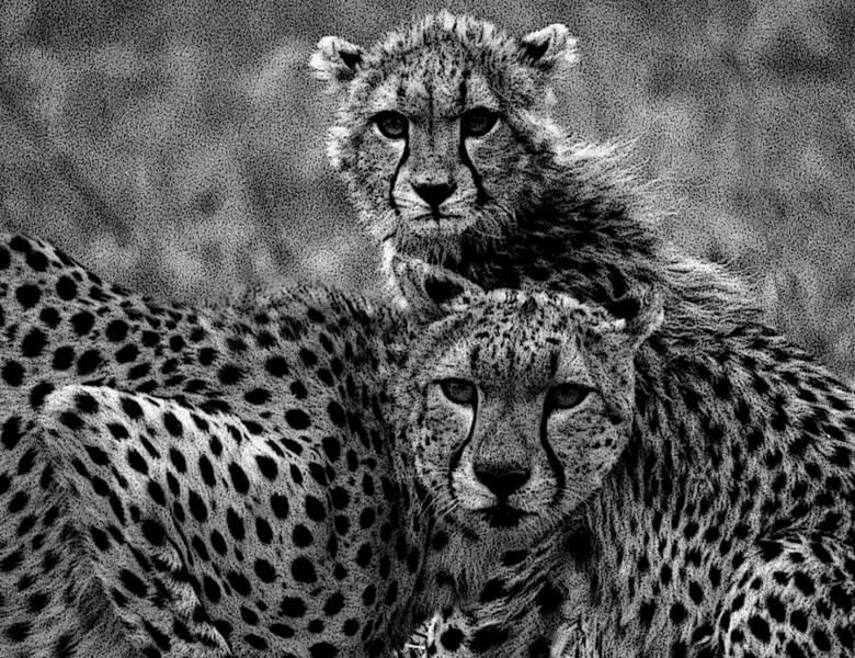 2 Geparden