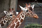 2 Giraffen im Kölner Zoo