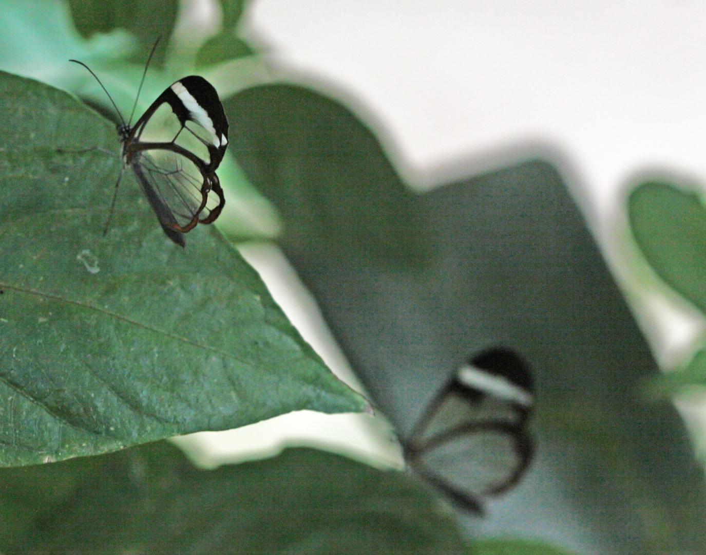 2 Glasswings  (Greta oto)