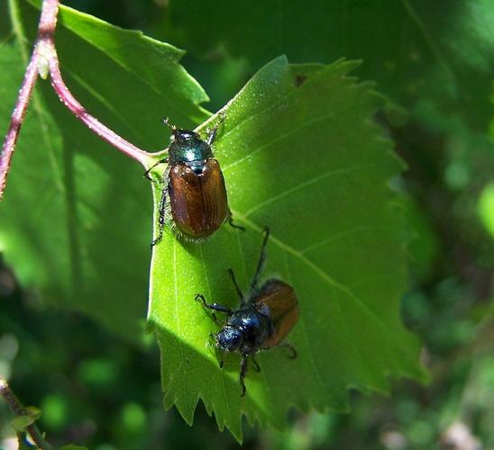 2 Käfer