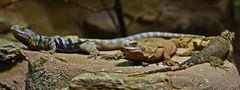2 Leguane und ihr Kumpel Chuckwalla