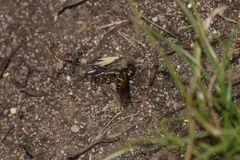 (2) LOMATIA LATERALIS - ein seltener Schweber (Fam. Bombyliidae), ...