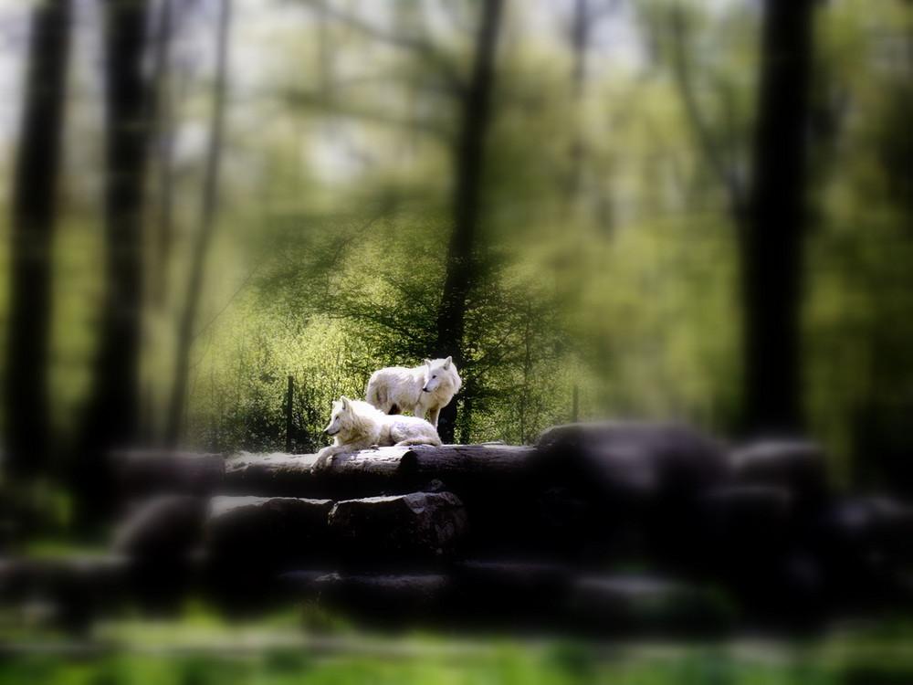 2 loups arctiques en forêt !!