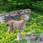 2) Luchs (Lynx lynx), Lynx, Lince