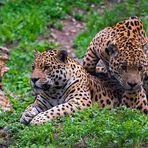 2 mal Jaguar