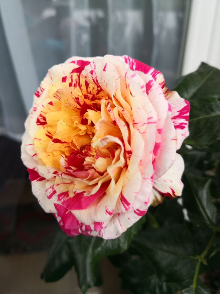 (2) Malerrose