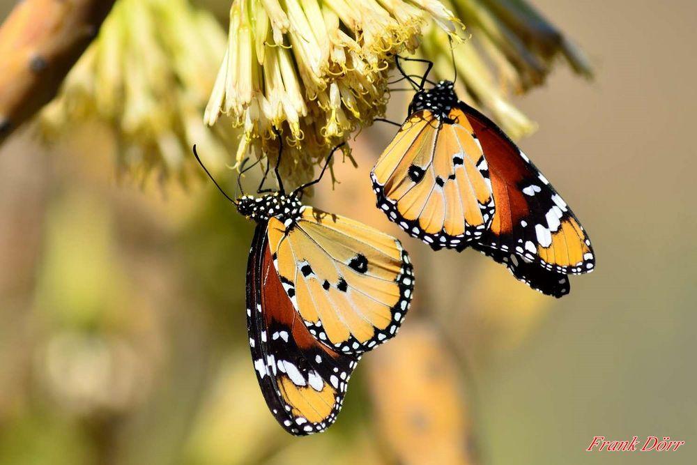 2 Monarch Falter