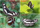 2 Neptis Arten zum Vergleichen