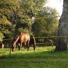 2 Pferde auf der Koppel