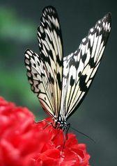 2. Schmetterling auf Rose