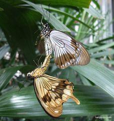 2 Schmetterlinge