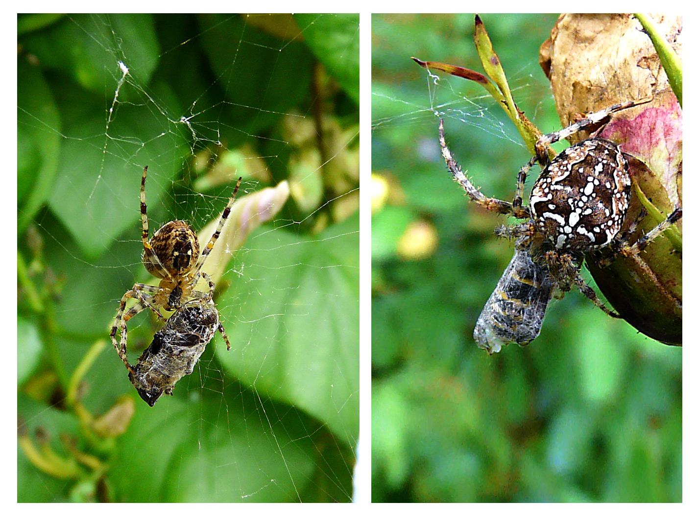 2 Spinnen - Futter auf Vorrat - So kann das Opfer nie entkommen