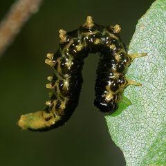 (2) Synchronballett der Blattwespenlarven von Craesus latipes