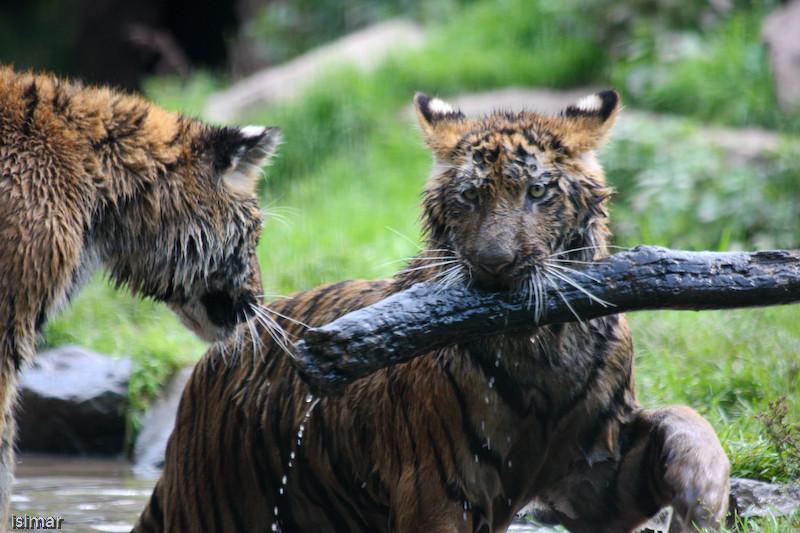 2 tigrons joueurs