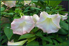 2 Trompetenblüten in voller Schönheit