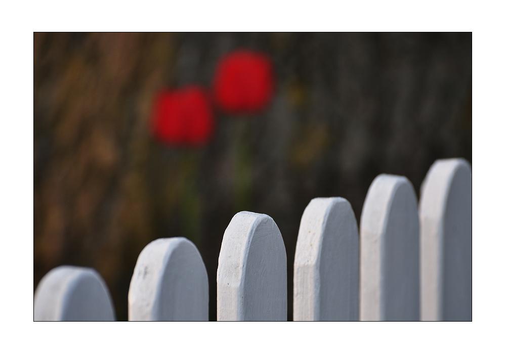 2 Tulpen hinterm Zaun