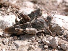 2 verliebte Ödlandschrecken [Oedipoda caerulescens]