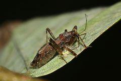 (2) Wanzen als Feinde der Marienkäfer