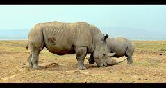 2 White Rhinoceros (Ceratotherium simum)