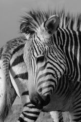 2 Zebra Fohlen 3911