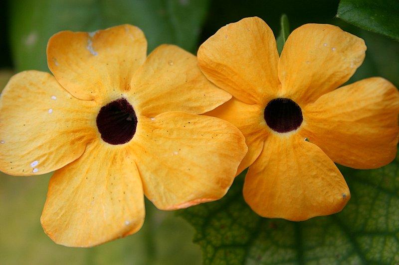 2 zuta cvijeta