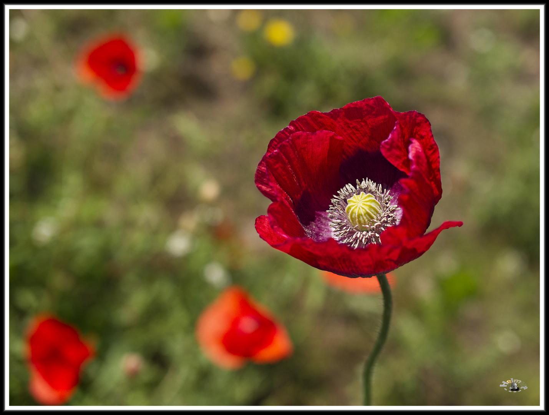 2006_7243 Mohn im Wildblumenbeet