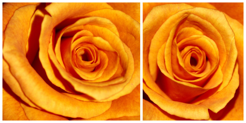 (20070526) rose