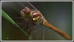 2007_7892  Das Lächeln einer Libelle am Morgen