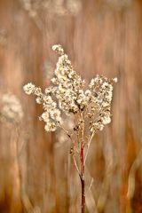 2013-01-00 Trockene Blütenstände