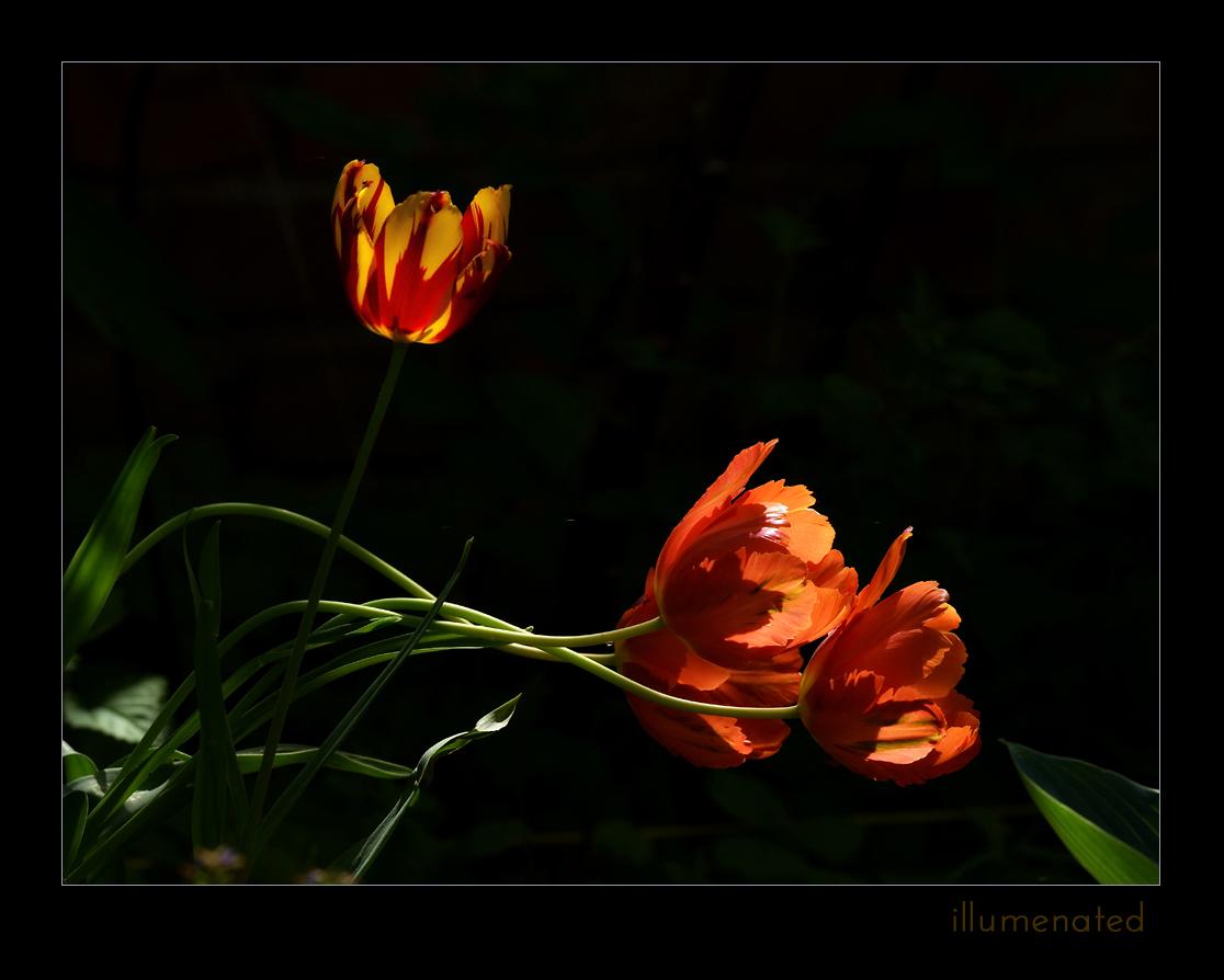 20150515 Tulpen im Licht