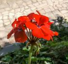 20151031_105640-1 Red Flowers