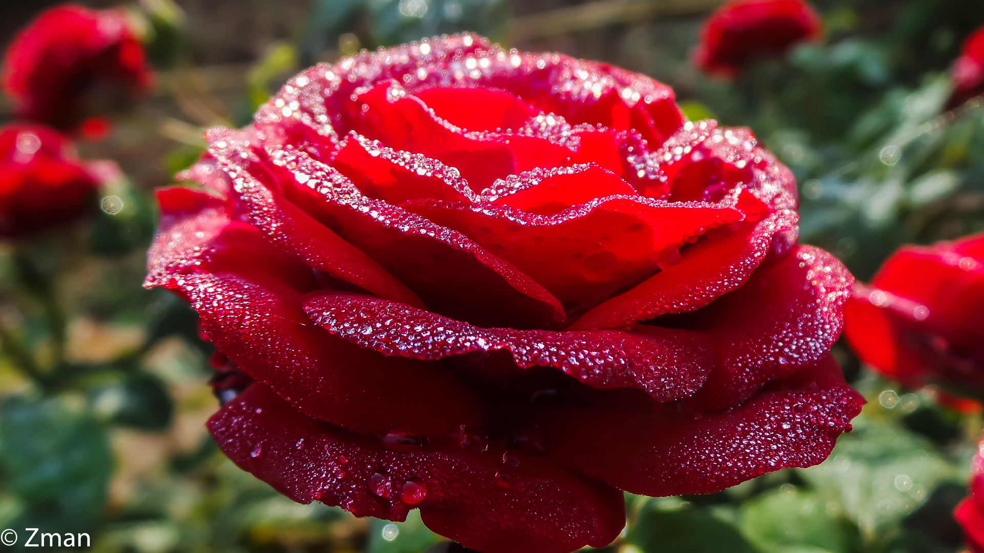 20151108_073747-26 Red Rose