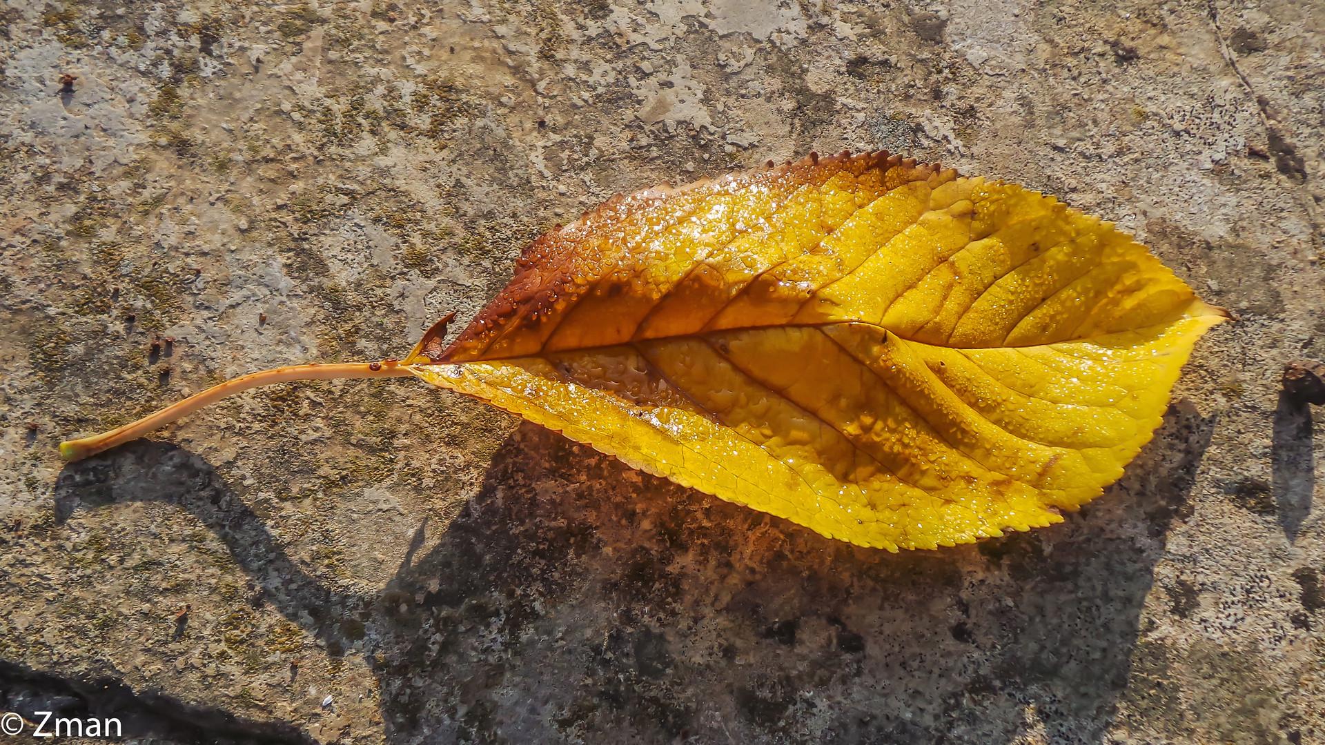 20151108_074514-37 Fallen Leaf