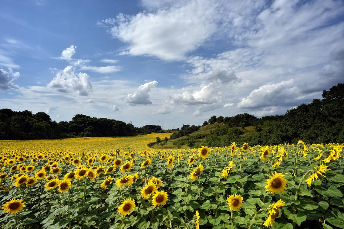 201707 Die Sonnenblumenautobahn