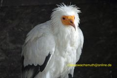 2018-05-27 Kintzheim, Volerie des aigles, Schmutzgeier (Neophron percnopterus) (9)
