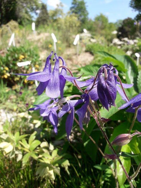 2020 Botanischer Garten im Vordergrund Akelei