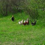 20210515  Hahn mit seinen Hühnern