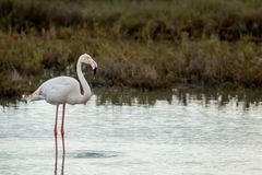 21 Flamant rose adulte